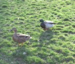 Doris and Edgar, neighbourhood aristo-ducks
